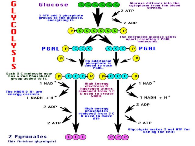 Proses Gilkolisis