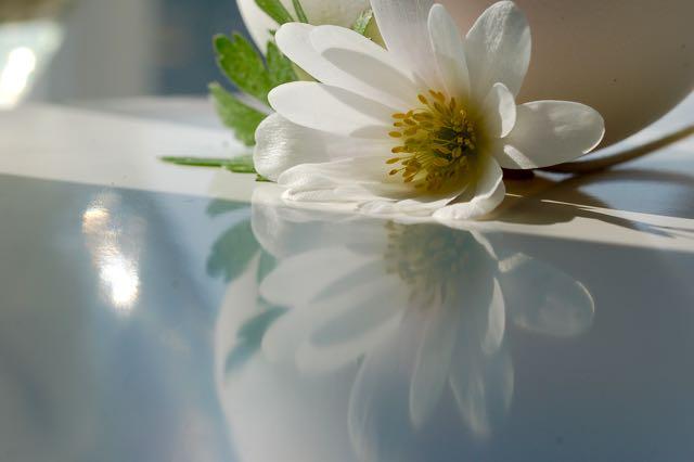 White Anemone Photo