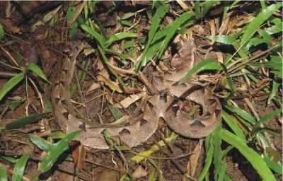 rắn độc chàm quạp