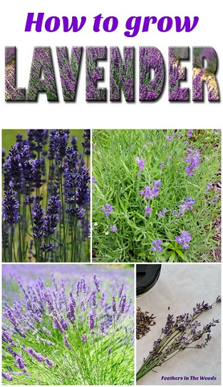 Lavender | growing