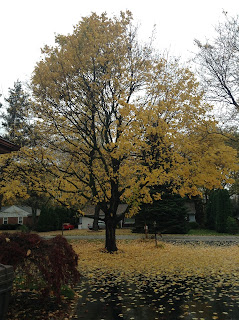 Healthy Norway Maple Tree