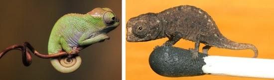 Camaleão - Risco de Extinção