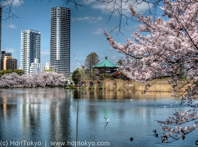 a pond and cherry blossoms. tall buildings and a temple in background.
