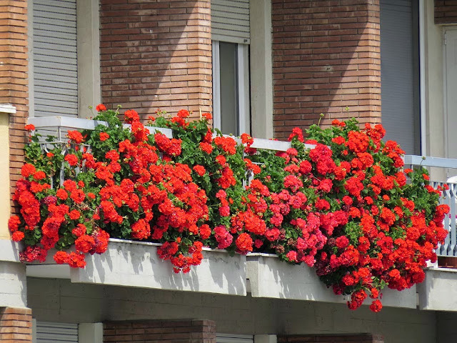 Flowered balcony, scali del Teatro, Livorno