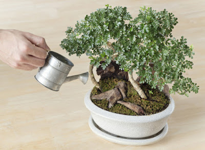 come-curare-i-bonsai