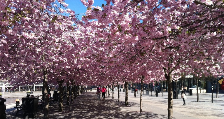 Kungstradgarden, Taman Bunga Sakura di Swedia