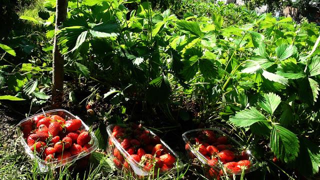 Comment produire des fraisiers bio gratuitement le for Calendrier jardin potager