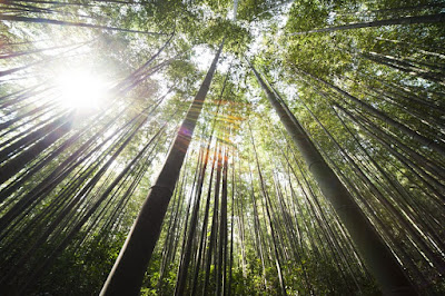 Bamboo Leaves Benefits For Health
