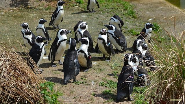 Zwartvoetpinguïns in Aquazoo
