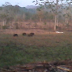 Baris berbaris kawanan babi di kebun.