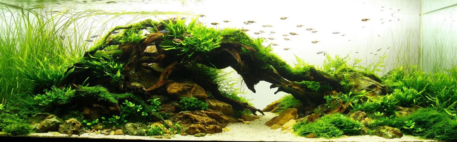 Cây cỏ cọp trồng hậu cảnh rất đẹp trong hồ thủy sinh