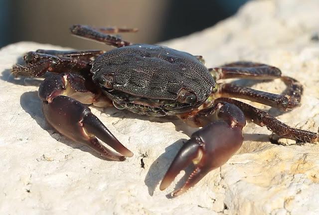 Crabe Noir ou Marbré