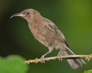 Burung Myzomela remang atau dusky myzomela yang juga dikenal dengan dusky honeyeater dalam bahasa Inggrisnya ini merupakan spesies burung dari keluarga Meliphagidae yang memiliki nama latin (Myzomela obscura)
