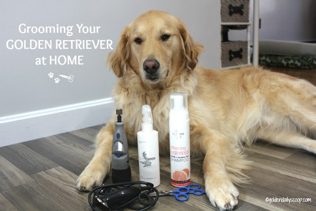 keeping your golden retriever dog looking their best between grooming appointments