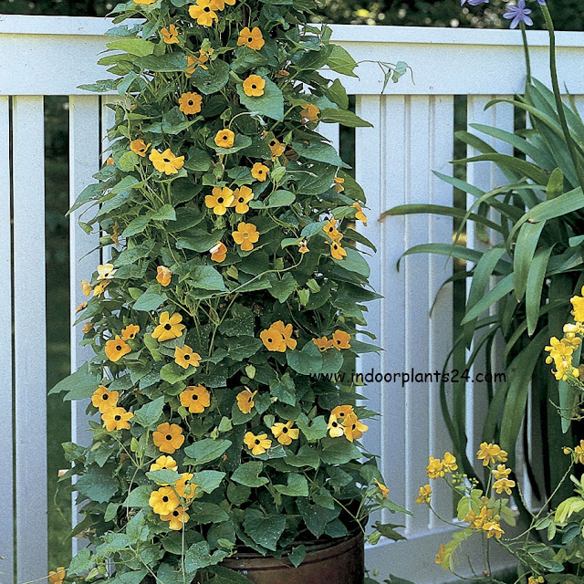 black eyed susan vine seeds and facts