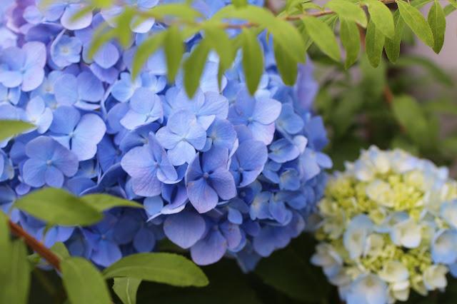 スカイブルーの紫陽花