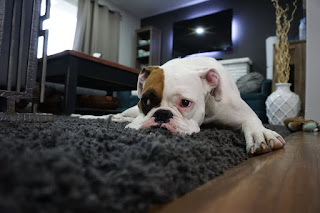 5 Basics of Puppy Training at Home 1