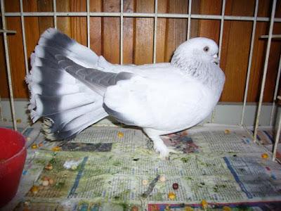 selçuk - güvercin