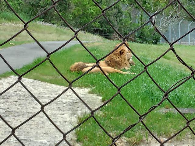 ライオン|アドベンチャーワールド<中編>サファリワールドをご紹介