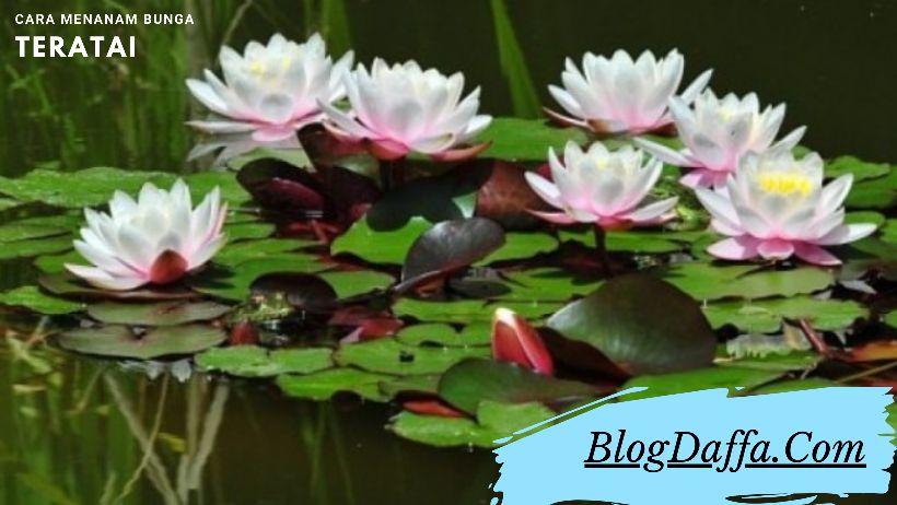 Cara Menanam Bunga Teratai dari Benih