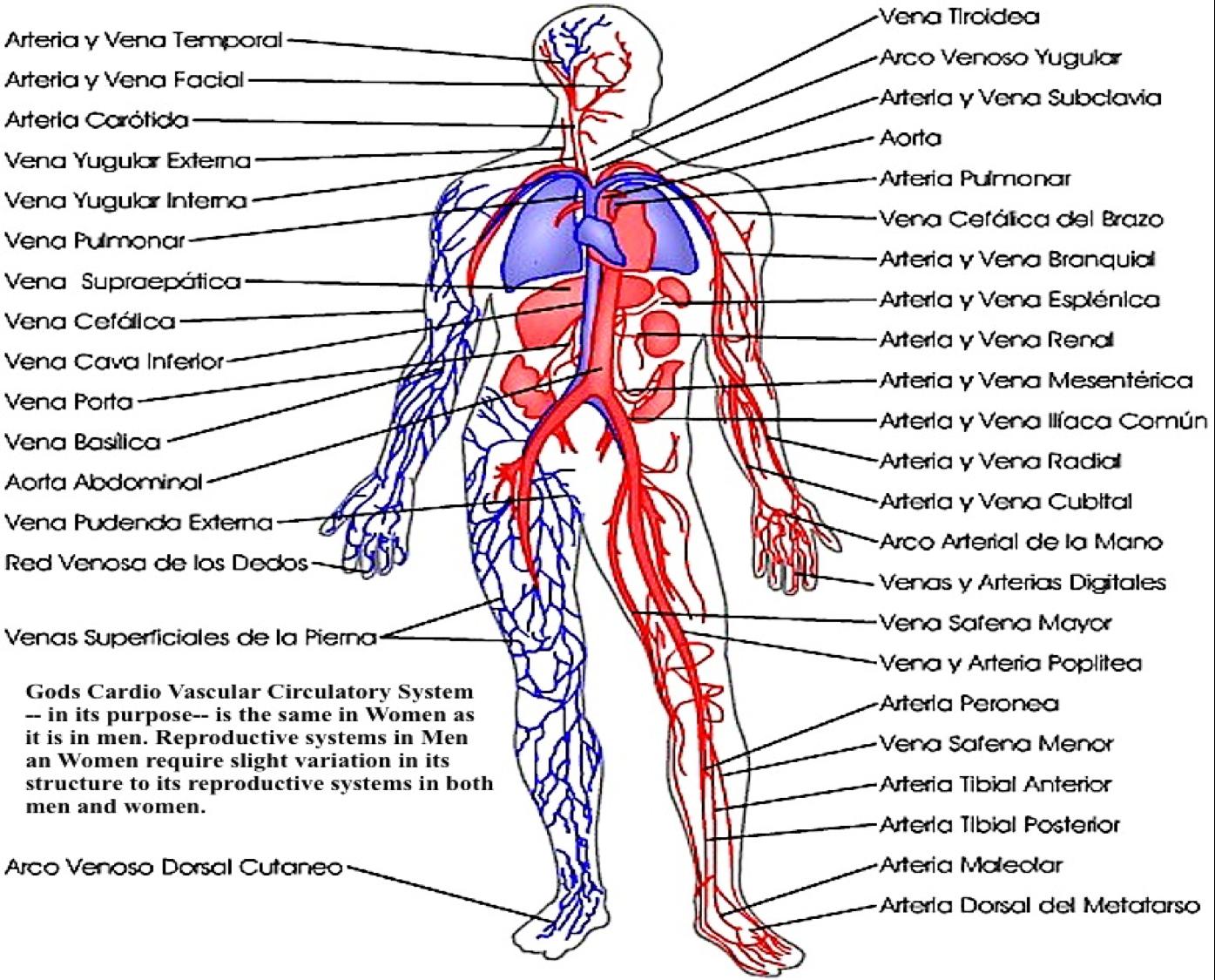 Anatomia Aplicada: Sistemas del cuerpo humano 2
