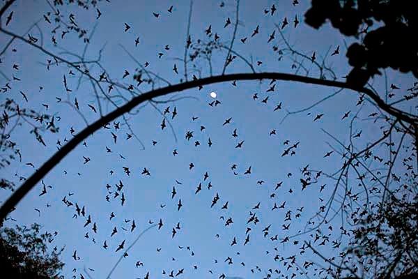 Murciélagos volando con la luna en el cielo de Calakmul, Yucatán