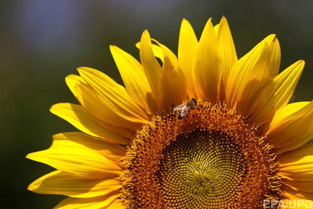 Великий український виробник соняшникової олії вийде на ринок США