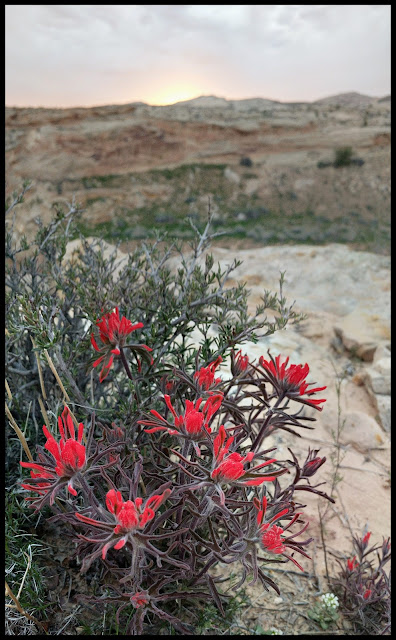 This Beautiful Flower on the Edge of the Cliff is a type of Indian Paintbrush
