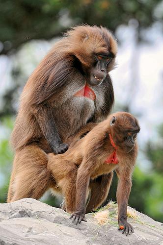 Two monkeys having sex