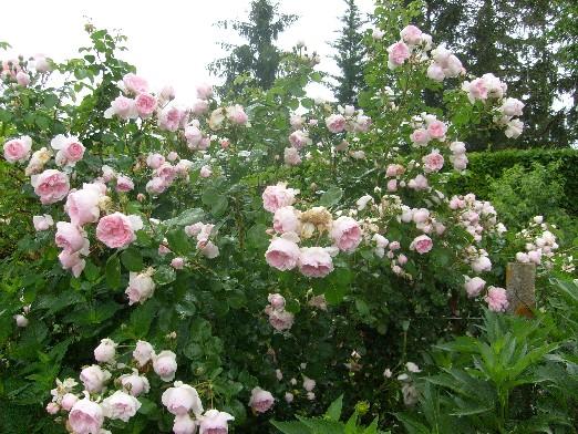 ma plan te jardin la giralda cinderella un rosier grimpant romantique et parfum. Black Bedroom Furniture Sets. Home Design Ideas