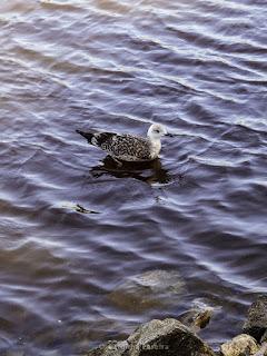Seagul
