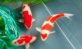 Cara Memelihara Ikan Koi kohaku