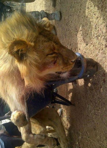 lion escaped jos wildlife park