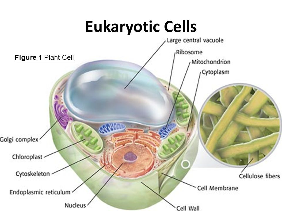 Study notes cell structure and function features of eukaryotic cells ccuart Choice Image