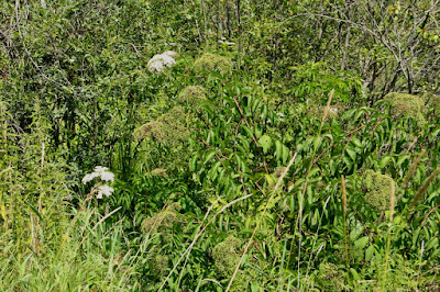 Hogweed? Angelica? Cow Parsley?