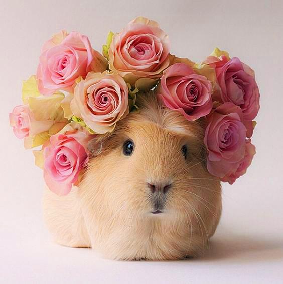 Cavia foto van een cavia met roze bloemen op zijn kop