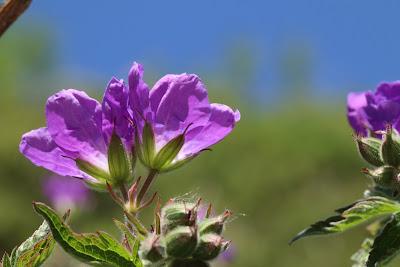 [Geraniaceae] Geranium sylvaticum - Wood Cranesbill (Geranio dei boschi).