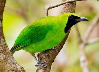 Mengenal Lebih Dekat Burung Cucak Ijo Mini, Cucak Ijo Mini - SuaraBurung.xyz - Info Harga dan Suara Burung, Baca dahulu untuk mengenal karakter cucak ijo mini - Toko Lovebird