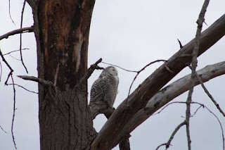 Snowy Owl On Its Perch.