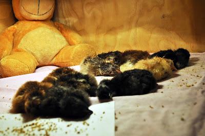 Однодневные цыплята спят