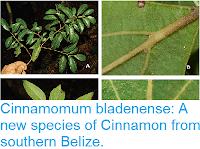 http://sciencythoughts.blogspot.co.uk/2017/08/cinnamomum-bladenense-new-species-of.html
