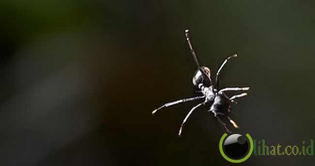 Semut Terbang (Gliding Ant)