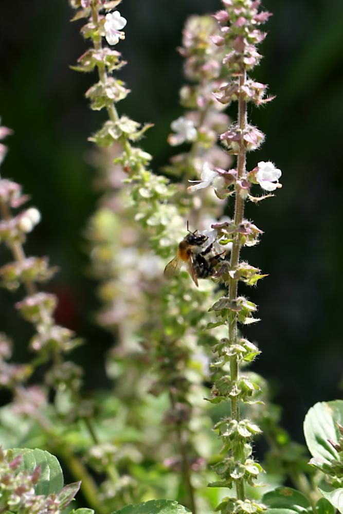 Biene im blühenden Basilikum. Vegetarisch und vegan grillen mit den Köstlichkeiten aus der Vegithek von EDEKA  | Arthurs Tochter kocht. von Astrid Paul