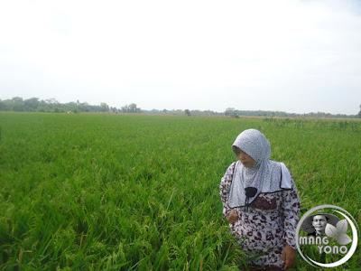 FOTO 4 : Istri admin melihat hamparan tanaman padi ketan di Bakan Bandung, dusun Gardu, Bendungan, Pagaden Barat, Subang .. Minggu 14 Agustus 2016
