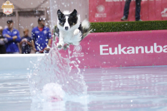 dock diving border collie #AKCDogShow #TheBigDogShow #RoyalCaninDogs
