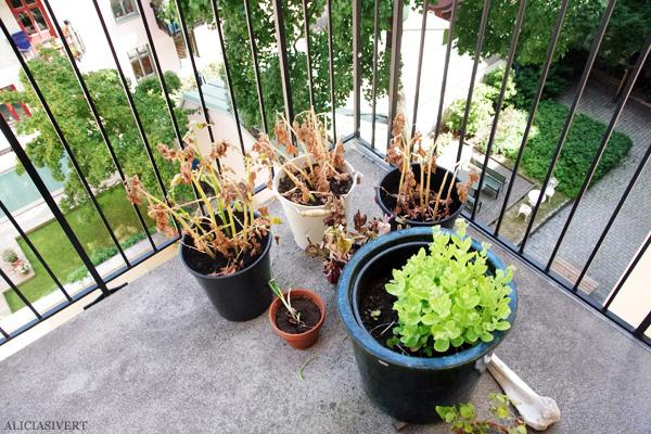 aliciasivert, alicia sivert, alicia sivertsson, odling, plantera, änglamark, ekologisk potatis, änglamarks ekologiska odlingsjord, kruka, skott, potatis, potatisplanta, gro, grodd, hink, kruka, balkong, blast, skelett, plant, potatoes, potatoe, organic, ecological, balcony, bucket