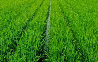Cara menanam padi organik serta perawatan tanaman padi organik ~ Wonogiri Berbagi
