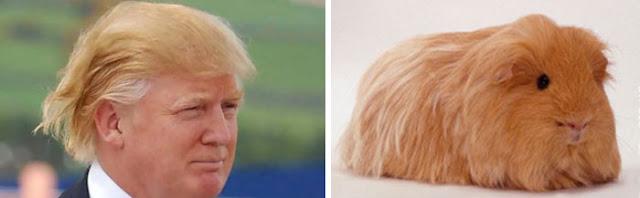 Donald Trump cabellera
