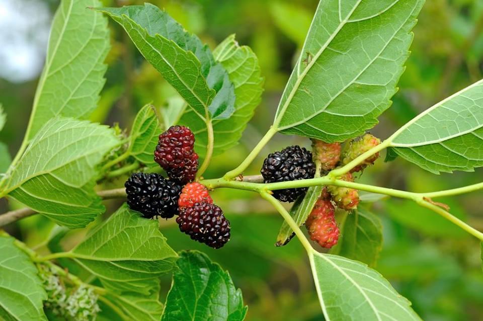 Mulberry a prostatitis alatt