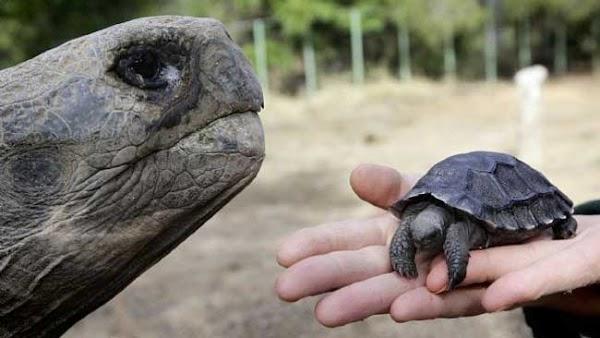 Por primera vez en 100 años hay tortugas bebé en las Islas Galápagos